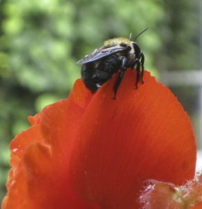Bee on Begonia