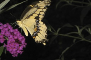 This butterfly's habitat has slowly been moving northward due to climate change.