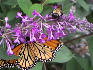 Pollinators-OliveGarden