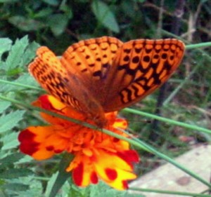 Great spangled fritillary feasting on a marigold