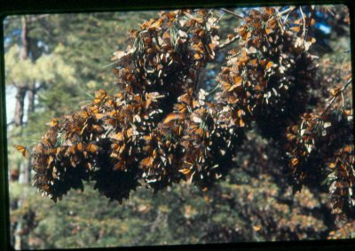 Experience the mystery and majesty of millions of monarchs